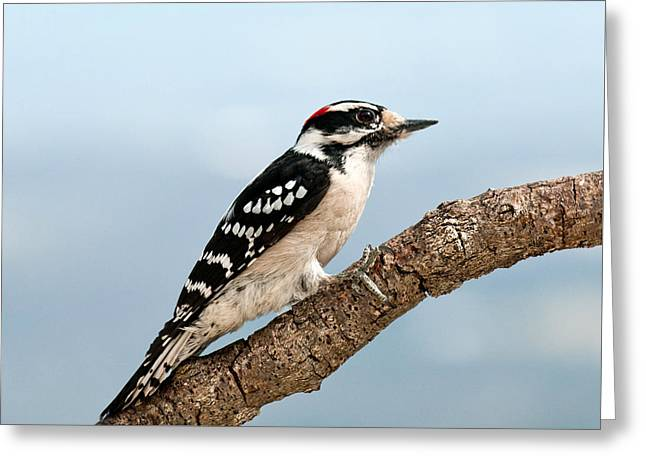 Greeting Card featuring the photograph Downy Woodpecker Spring 2016 1 by Lara Ellis
