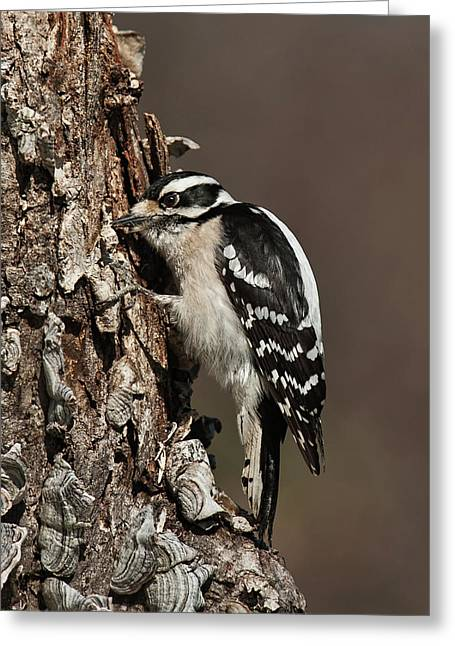 Greeting Card featuring the photograph Downy Woodpecker's Secret Stash by Lara Ellis
