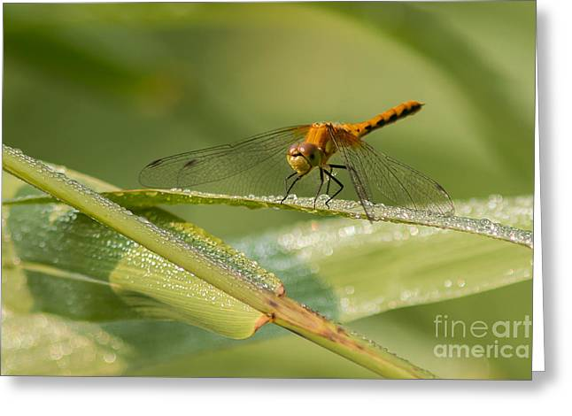 Dragon And Dew Greeting Card by Donna Crider