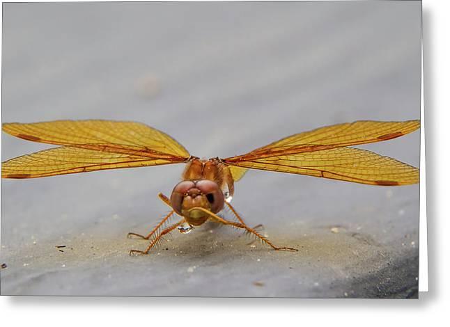 Dragon Fly Hanging Around Greeting Card