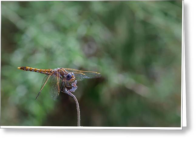 Dragonfly 2 Greeting Card
