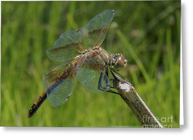 Dragonfly 8 Greeting Card