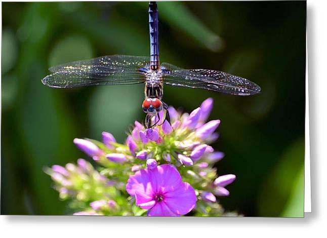 Dragonfly And Phlox Greeting Card