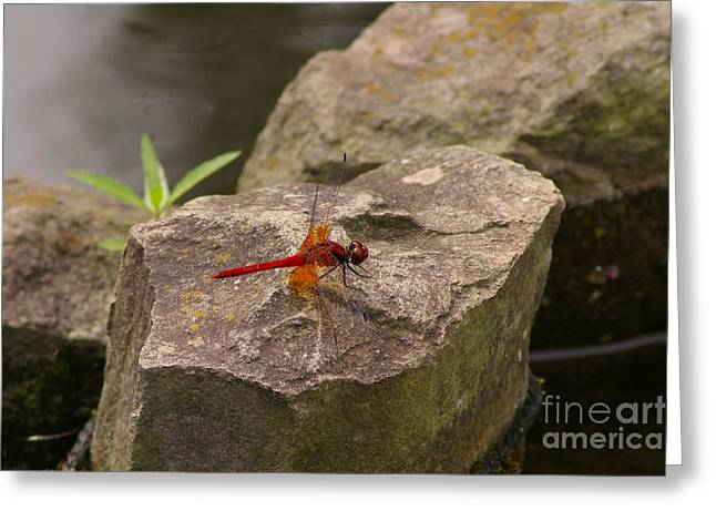 Dragonfly At Rest Greeting Card by Catja Pafort