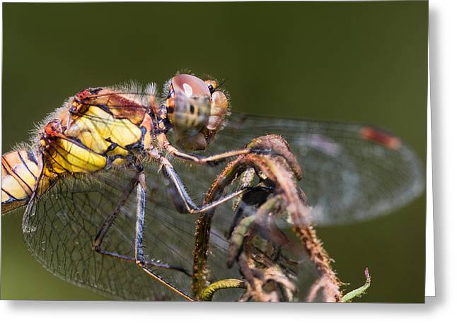 Dragonfly Greeting Card by Ian Hufton