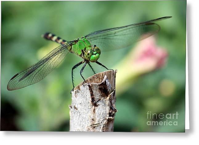 Dragonfly In The Flower Garden Greeting Card by Carol Groenen