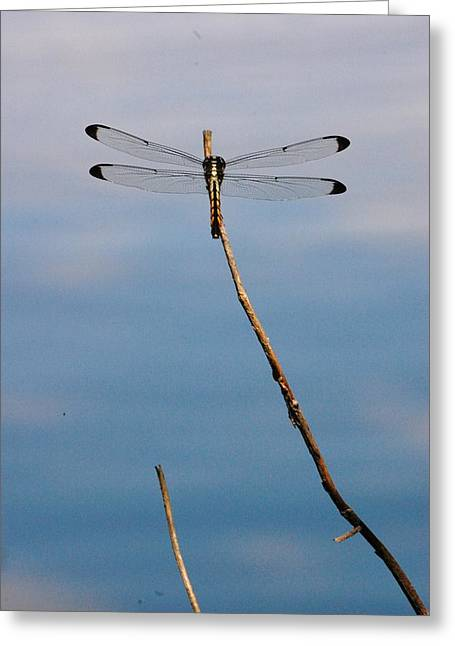 Dragonfly Greeting Card by Nikki Taylor