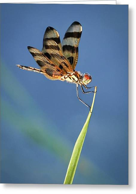 Dragonfly On Blue Greeting Card
