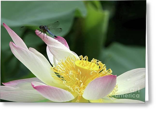 Dragonfly On Lotus Greeting Card by Sabrina L Ryan