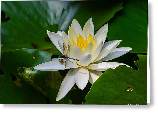 Dragonfly On Waterlily  Greeting Card