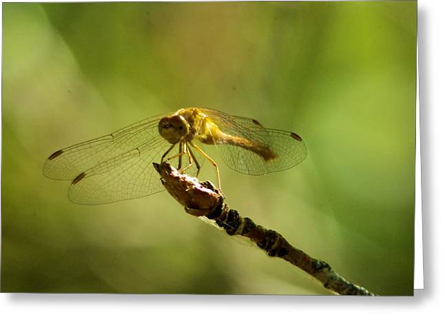Dragonfly Perched Greeting Card