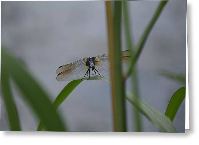 Dragonfly6 Greeting Card