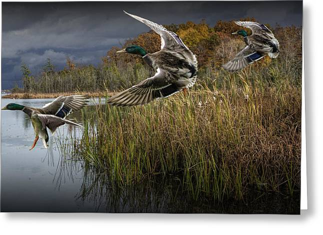 Drake Mallard Ducks Coming In For A Landing Greeting Card