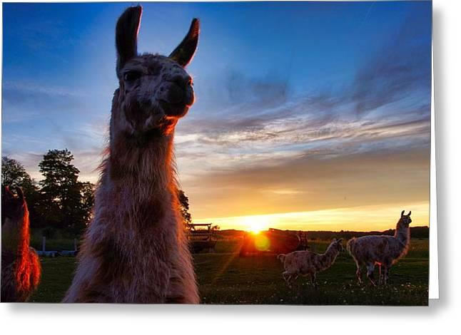 Drama Llamas Greeting Card
