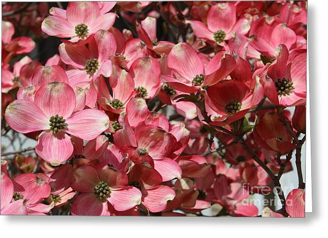 Pink Blossoms Greeting Cards - Dramatic Dogwood Flowers Greeting Card by Carol Groenen