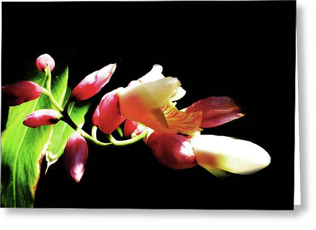 Dramatic Oriental Orchid Greeting Card