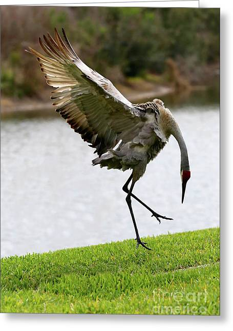 Dramatic Sandhill Crane Leap Greeting Card by Carol Groenen