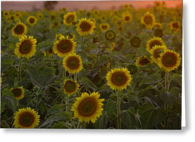 Dreaming In Sunflowers Greeting Card