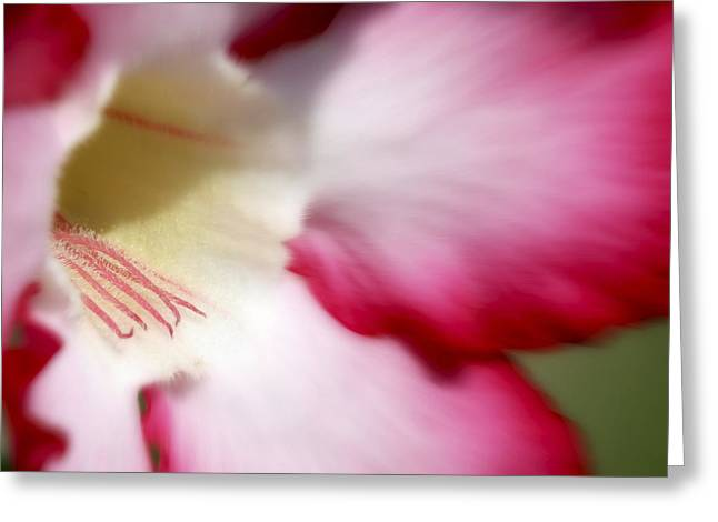 Dreamy Desert Rose Greeting Card by Jeannie Burleson