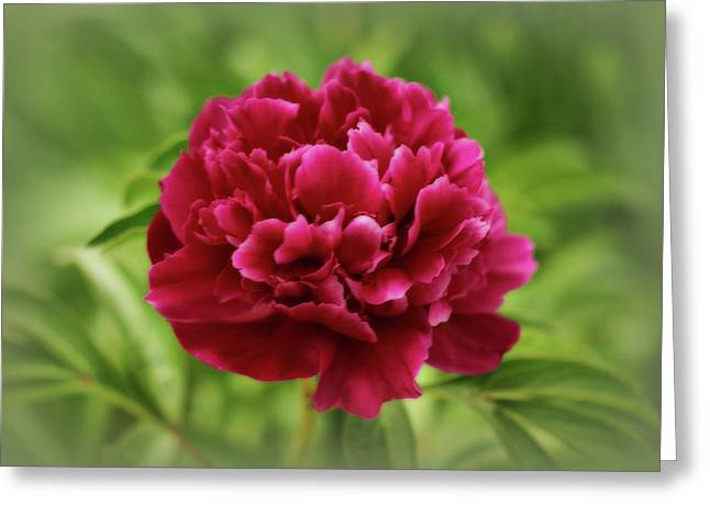 Sandy Keeton Photography Greeting Cards - Dreamy Peony Greeting Card by Sandy Keeton