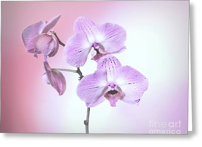 Greeting Card featuring the photograph Dreamy Pink Orchid by Linda Phelps