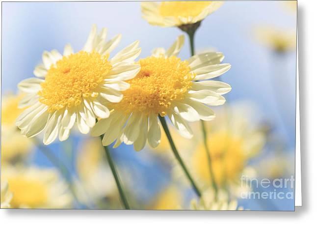 Dreamy Sunlit Marguerite Flowers Against Blue Sky Greeting Card