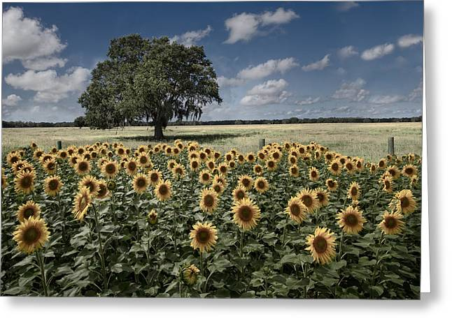 Dreamy Tree In The Sunflower Field Greeting Card by Debra and Dave Vanderlaan