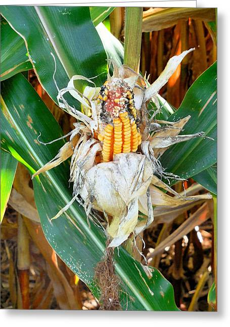 Dried Corn 1 Greeting Card by Lanjee Chee