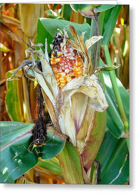 Dried Corn 2 Greeting Card by Lanjee Chee