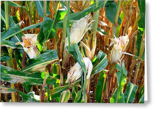 Dried Corn 4 Greeting Card by Lanjee Chee