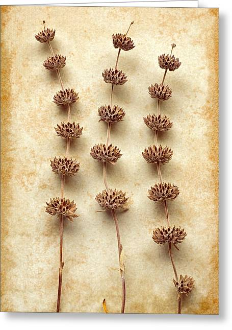 Dried Sage Greeting Card