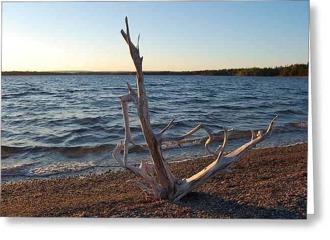 Driftwood Greeting Card by Donald Mac Fadyen