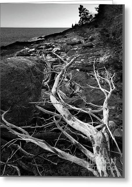 Driftwood Tree, La Verna Preserve, Bristol, Maine  -20999-30003 Greeting Card