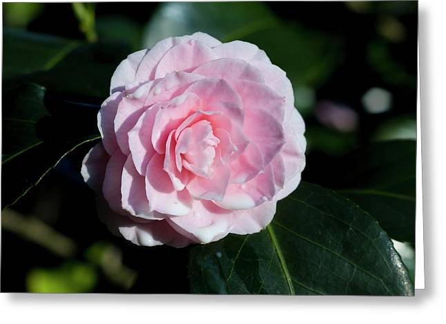 Dripping Camellia 1 Greeting Card
