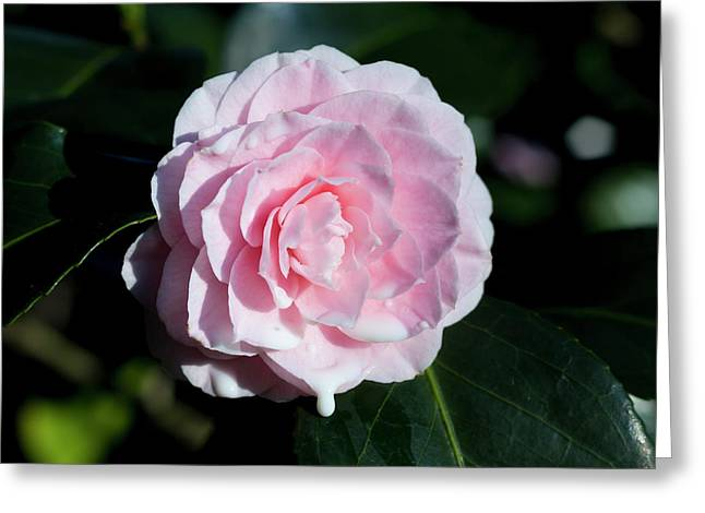 Dripping Camellia 2 Greeting Card