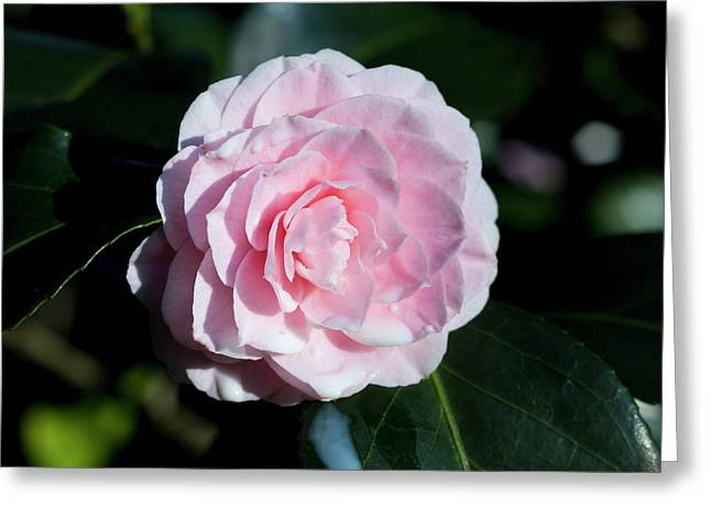 Dripping Camellia 3 Greeting Card