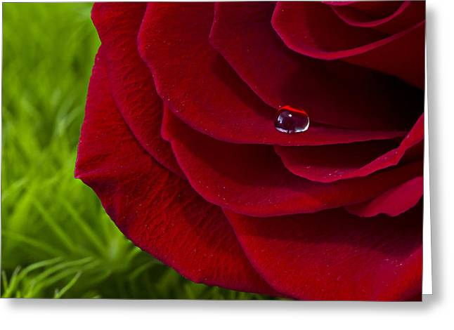 Drop On A Rose Greeting Card