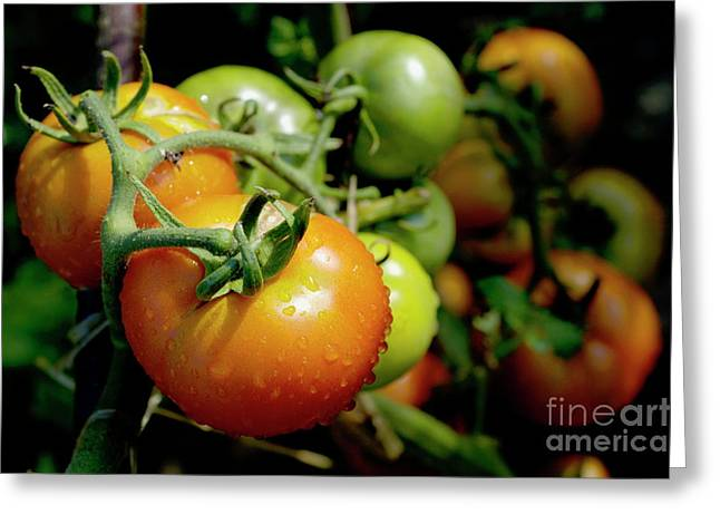 Sami Sarkis Photographs Greeting Cards - Drops on immature red and green tomato Greeting Card by Sami Sarkis