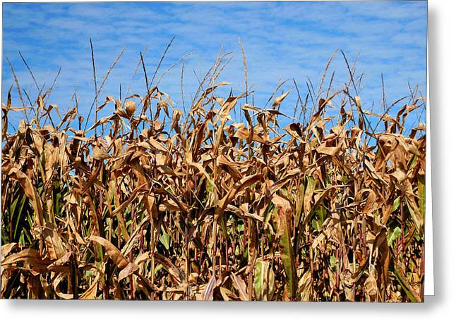 Dry Corn Field 4 Greeting Card by Lanjee Chee