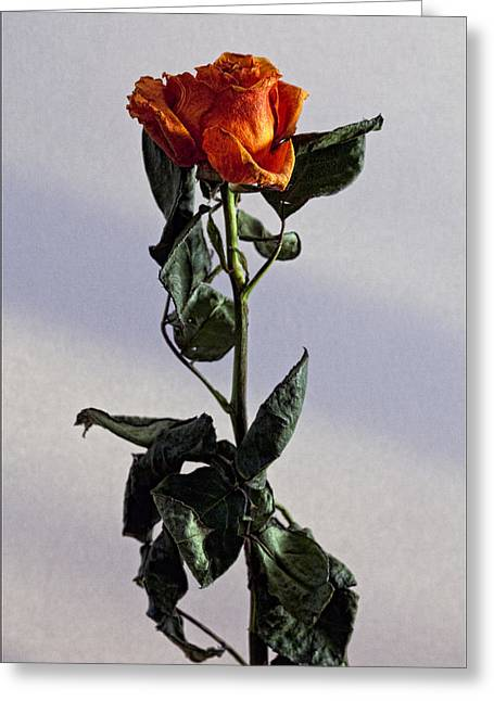 Drying Rose Greeting Card by Robert Ullmann