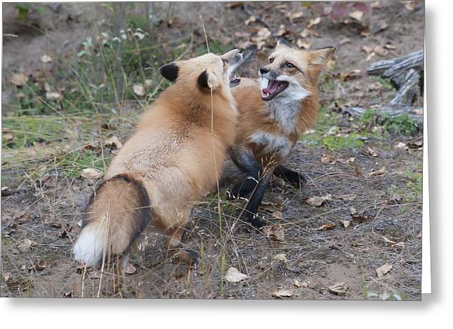 Dualing Red Foxes Greeting Card by Ken Cornett