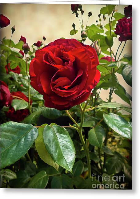 Dublin Bay Climbing Rose Greeting Card by Maria Janicki