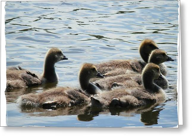 Duck Babies On The Water Greeting Card