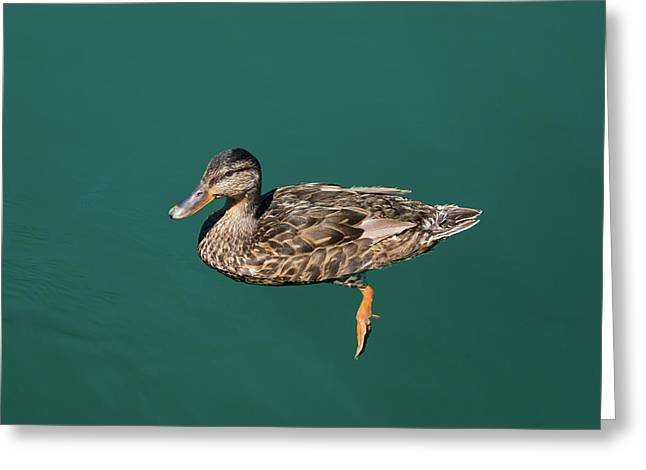 Duck Floats Greeting Card