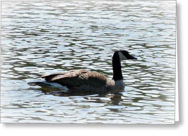 Duck In The Water Greeting Card