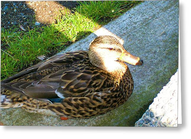 Duck Melanie Tweed In  The Sun Greeting Card