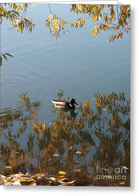 Duck On Golden Pond Greeting Card by Carol Groenen