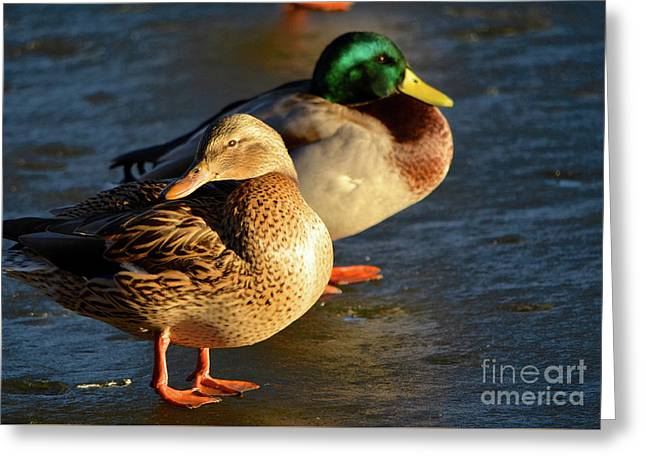 Duck Pair Sunbathing On Frozen Lake Greeting Card