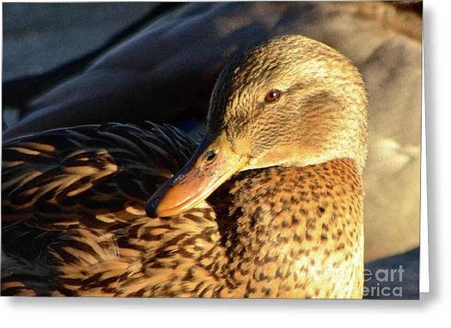 Duck Sunbathing Greeting Card