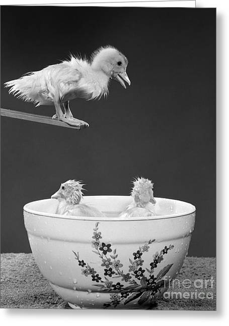 Duckling On Diving Board, C. 1950s Greeting Card